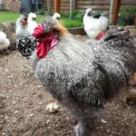 Bei der Hühnerhalung sollten Sie auf genügend Auslauf achten.