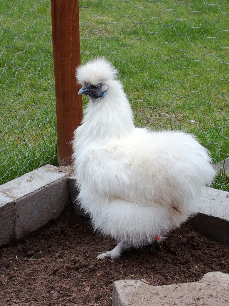 Bei der Hühnerhaltung gibt es viele Rassen.