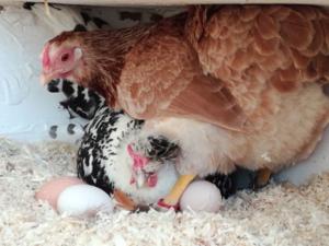 Bei der Hühnerhaltung sind Sie immer Hautnah dabei.