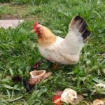 Hühner sind genügsame Tiere bei der Hühnerhaltung.