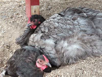 Hühner mögen es zu entspannen - so macht Hühnerhaltung Spaß.