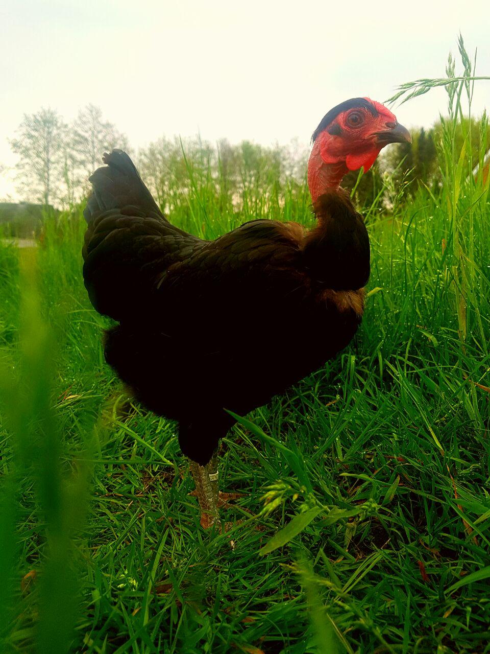 Bei der Hühnerhaltung gelingen oft schöne Zuchtergebnisse.