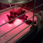Unter der Wärmelampe halten sich Küken bei der Hühnerhaltung gerne auf.