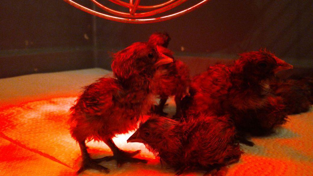 Frische Küken sind bei der Hühnerhaltung noch ganz zerzaust.