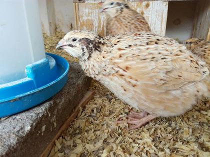 Bei der Hühnerhaltung auf gute Versorgung mit Futter und Wasser achten.