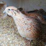 Hühnerhaltung und Wachtelhaltung gelingt im Garten gut.