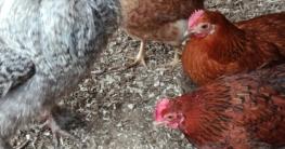 Bei der Hühnerhaltung auf Auslauf achten.