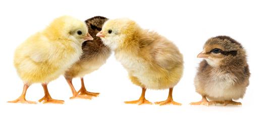 Gesunde kleine Hühnerküken