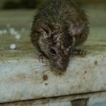 Hühnerfeinde: Die Ratte