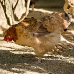 Rote Ruhr - blutiger Durchfall bei Hühnern