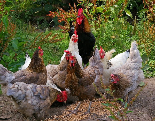Hühner benötigen einen Futterspender, damit sie nicht im Futter herumlaufen.