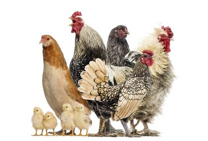Die Charakter Unterschiede der Hühnerrassen sind besonders zu beachten.