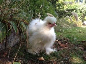 VOn vielen Hühnern gibt es eine Zwerghuhn Variante.