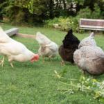 Wenn Sie den rchtigen Huehnerstall gekauft haben können Sie sich entspannen und die leckeren Eier genießen.