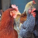 Hühner brauen einen Hühnerstall.