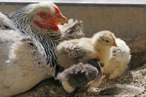 Das Brahma Huhn lässt sich gut halten.