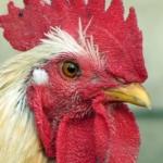 Der Hahn ist der Stolz jedes Hühnerbesitzers.