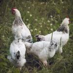 Hühner lieben es herum zu suchen und zu picken.