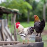 Huhn und Hahn im gekauften Huehnerstall halten.