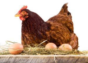 Wenn Sie einen Huehnerstall kaufen können Sie täglich ein leckeres Ei genießen.