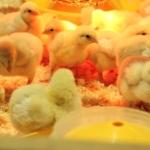 Küken und Hühner benötigenn eine Wärmelampe um sich optimal entwickeln zu können.