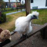 Lautsprache von Hühnern