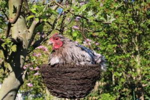 opington-huhn-in-nest