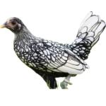 Das Sebright Huhn